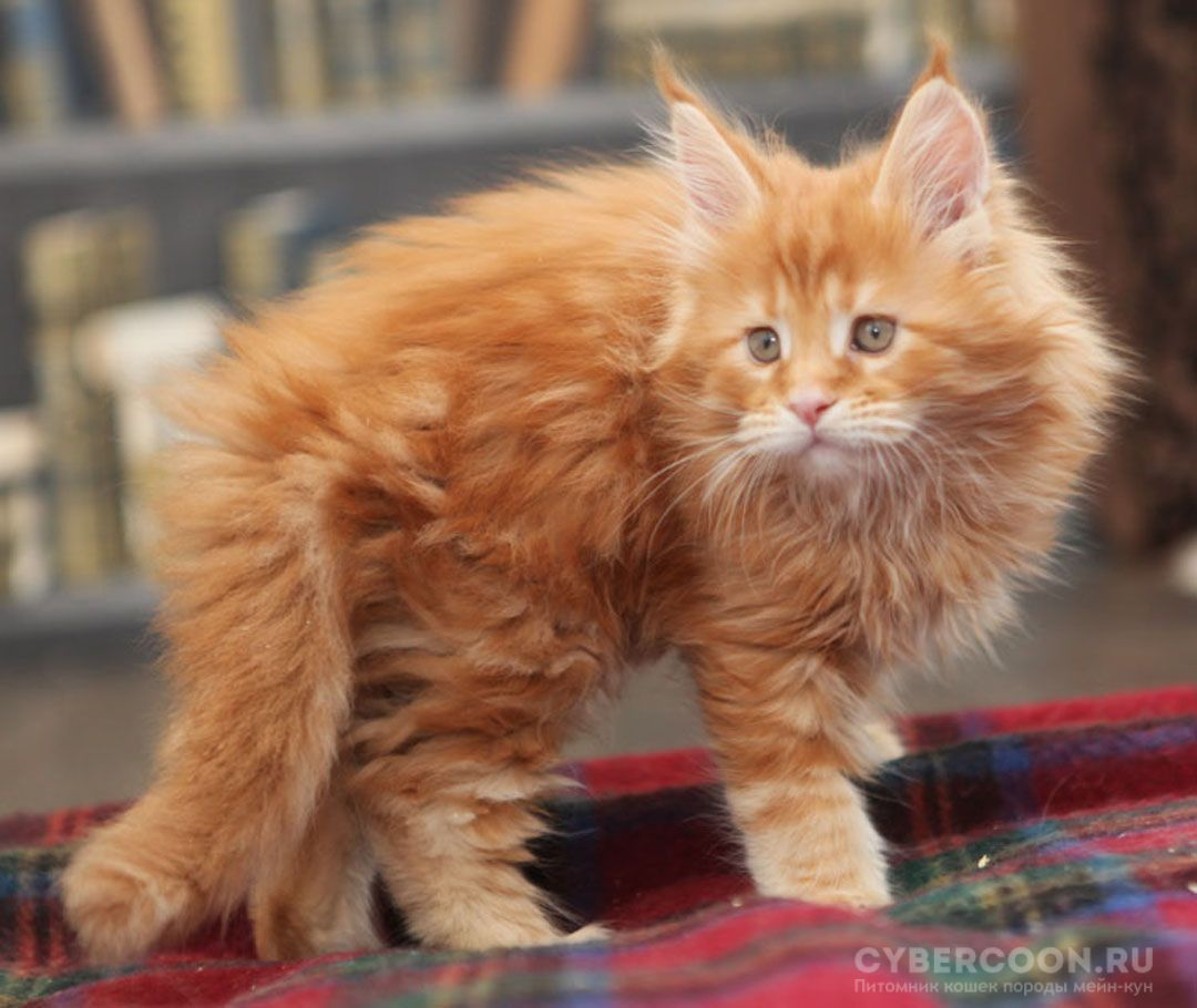 Maine Coon Big Foot