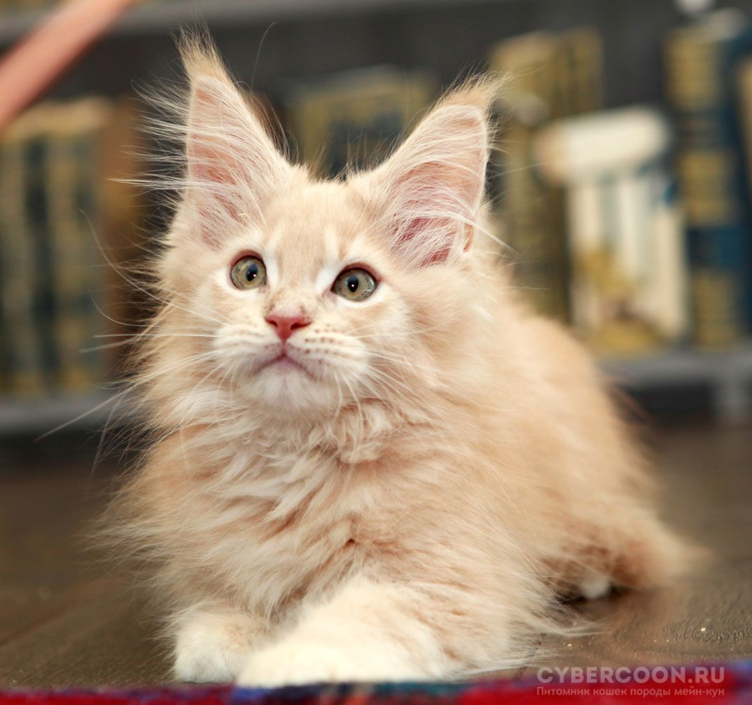 Maine Coon Captain Nemo kitten