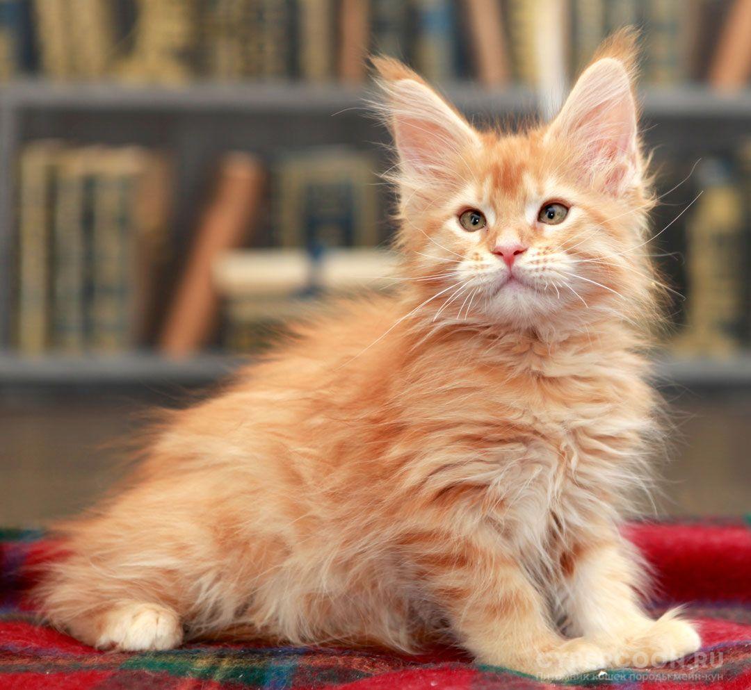 Мейн Кун окрас d23 красный тигровый