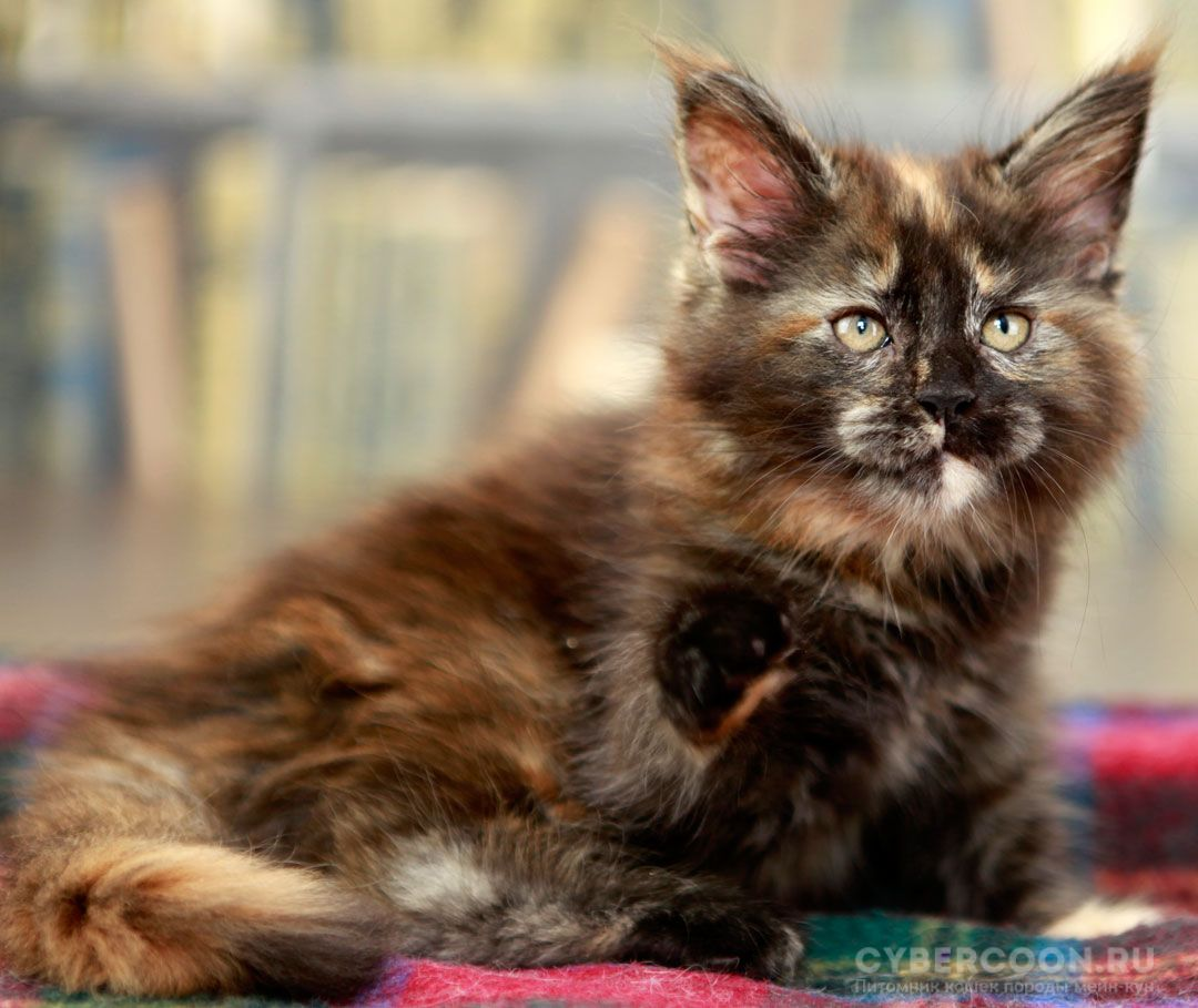Maine Coon Dream Girl kitten