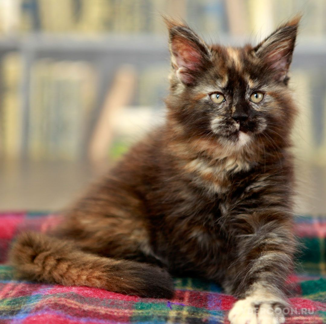 Maine Coon Dream Girl