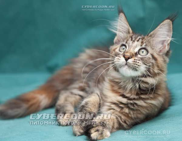 Maine Coon Enigma