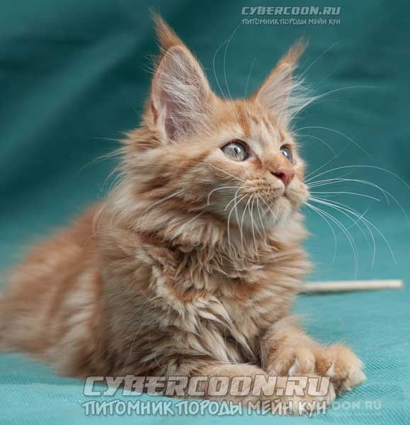 Maine Coon Euridica PP poly 7-7-6-6