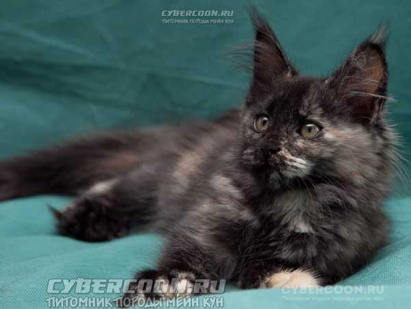 Maine Coon Extasy PP poly 7-7-6-6