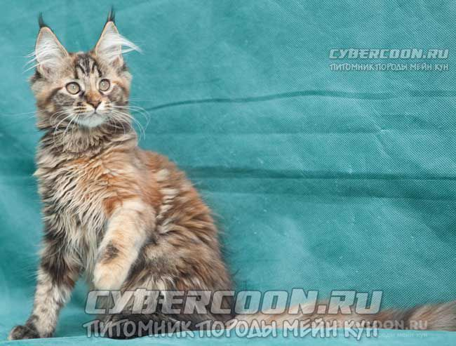 Maine Coon First Lady
