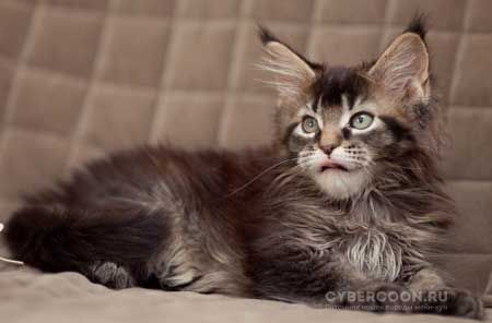 Maine Coon Marcel Proust