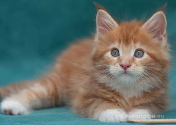 Maine Coon New Yorker