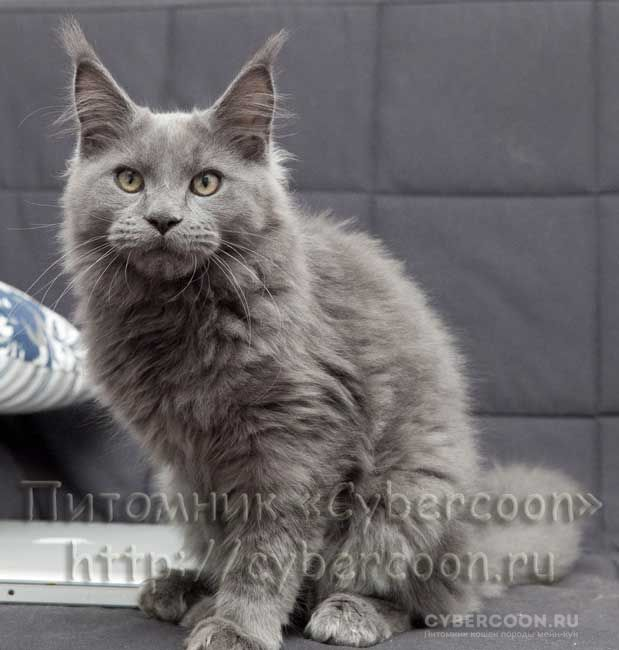 Maine Coon Pacific Blue