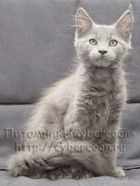 Maine Coon Pacific Blue kitten