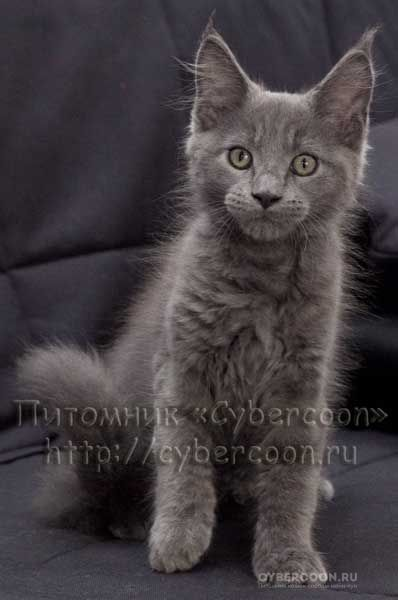 Maine Coon kitten Pacific Blue