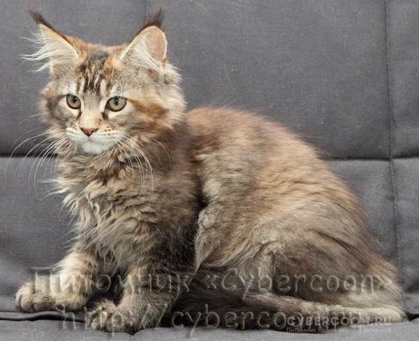 Maine Coon Pretty Kitty