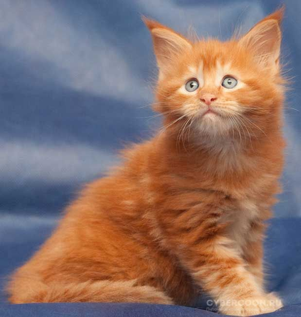 Maine Coon Rembrandt