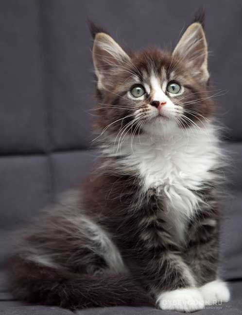Maine Coon Uma Thurman kitten