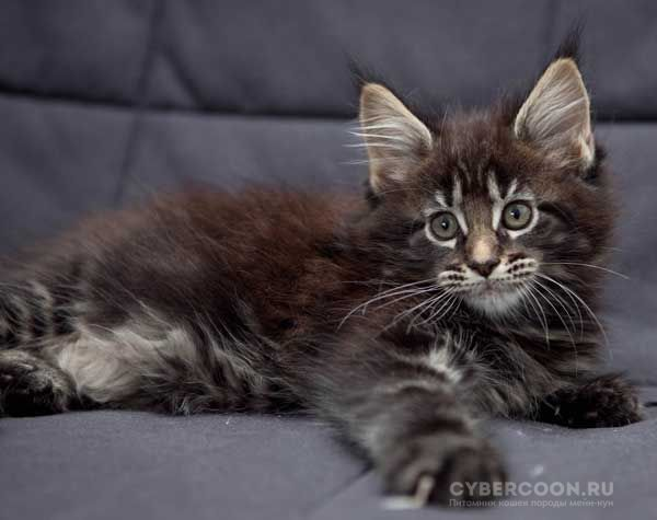 Maine Coon Unique Beauty kitten