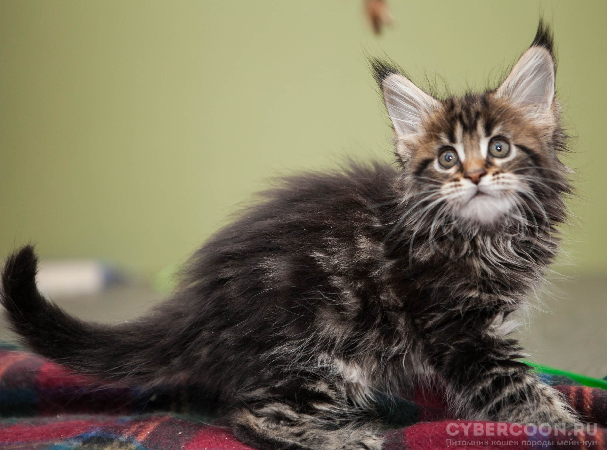 Maine Coon X-Girl kitten