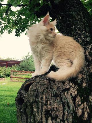 Мейн-кун на дереве